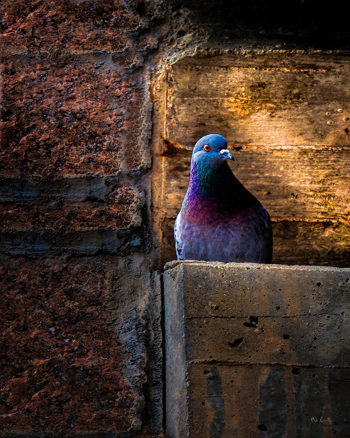Pigeon Of The City Photograph