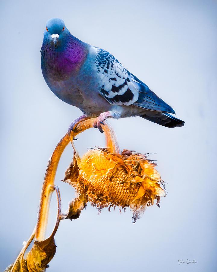 Pigeon On Sunflower Photograph