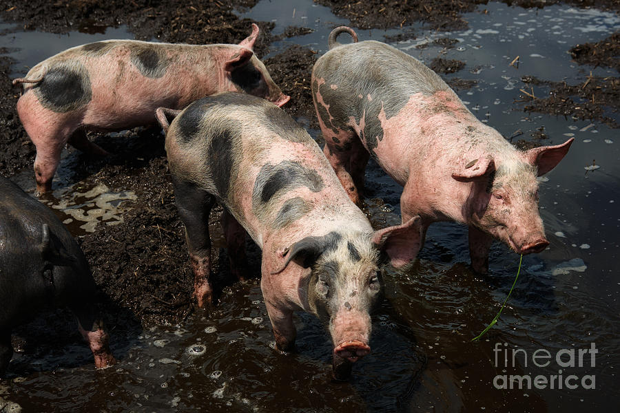 Pigs In The Mud is a photograph by Nick Biemans which was uploaded on ...