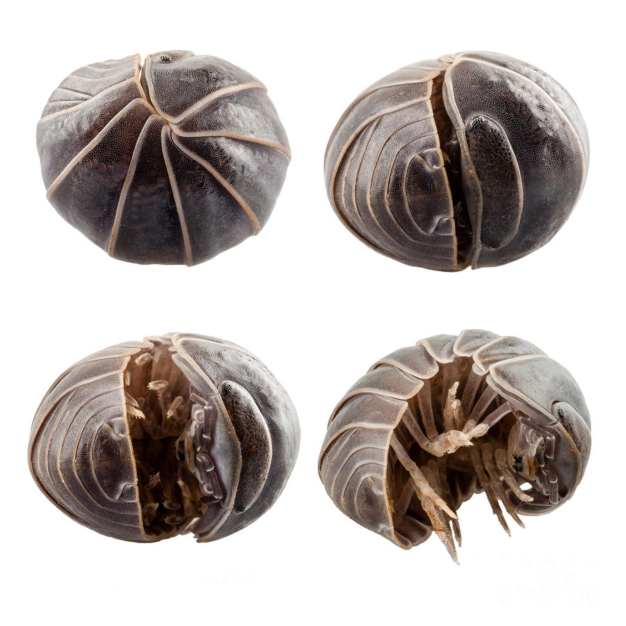 pill bug Polies, potato-bugs, and woodlice of the seven species of pillbugs and sowbugs known in idaho pillbugs and sowbugs are best considered beneficial decom.