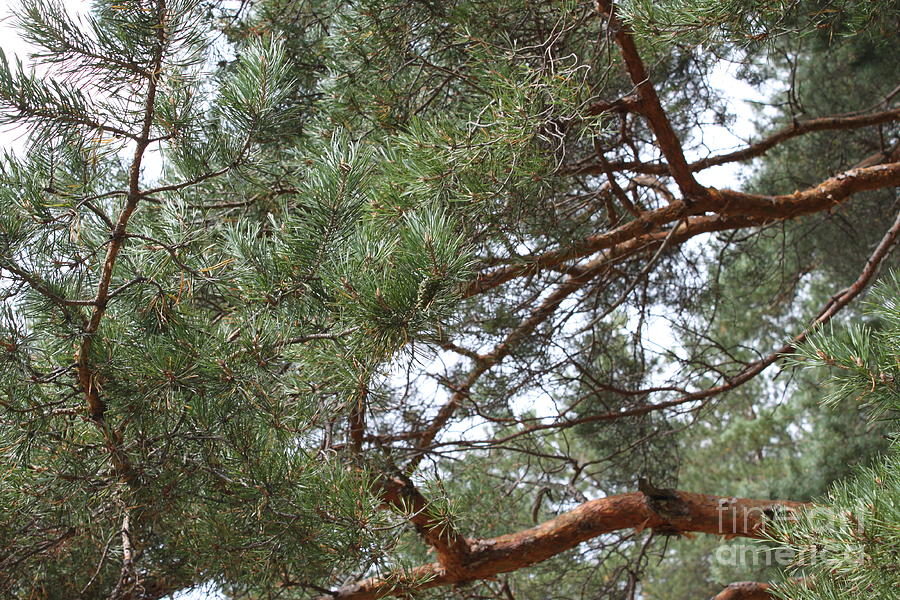 Evergreen Photograph - Pine Branches by Evgeny Pisarev