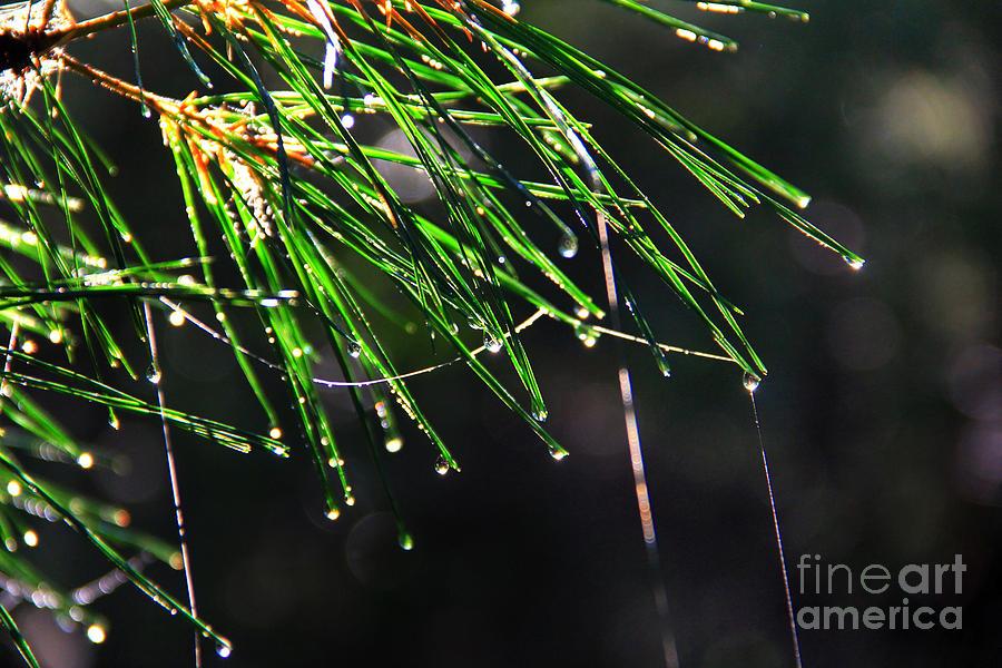 Pine Dew Photograph
