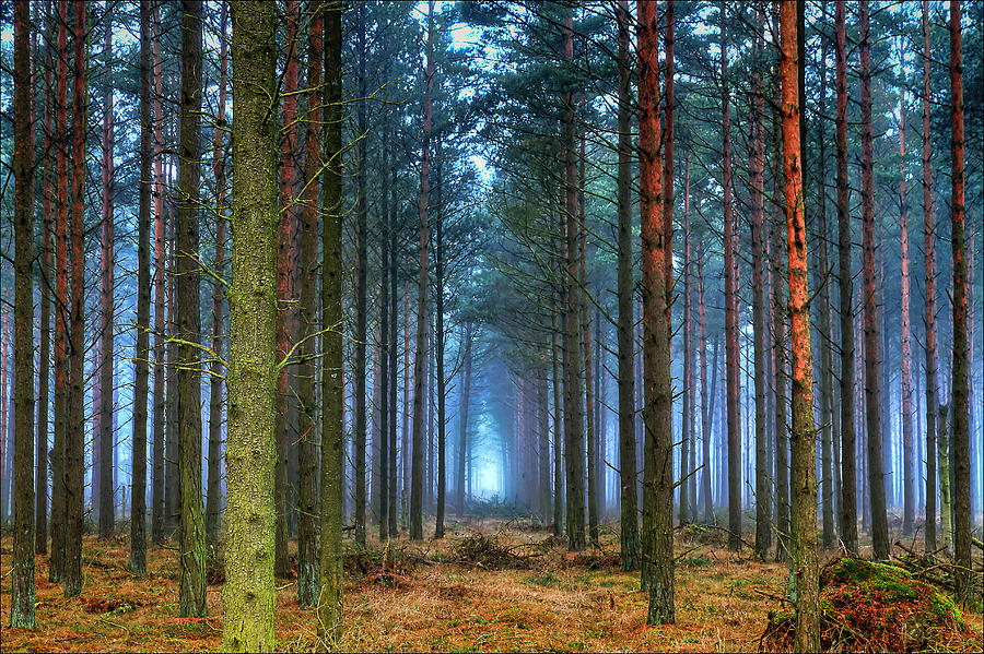 Pine-forest-in-morning-fog-as-seen-in-the-early-morning-light-of