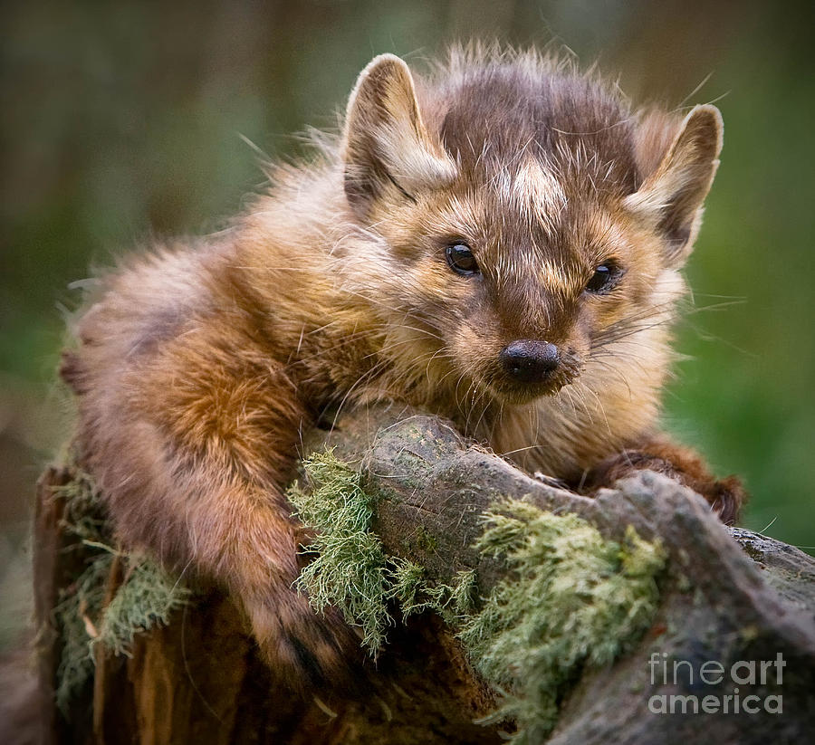 Pine Marten is a photograph by Jerry Fornarotto which was uploaded on ...