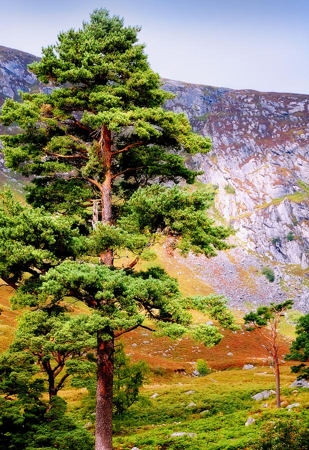 Pine Tree In Wicklow Hills. Ireland Photograph