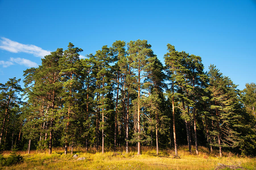 Pine Trees Of Valaam Island Photograph