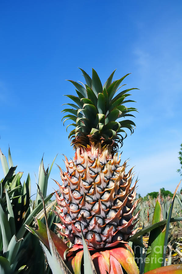 Pineapple Photograph - Pineapple by William Voon