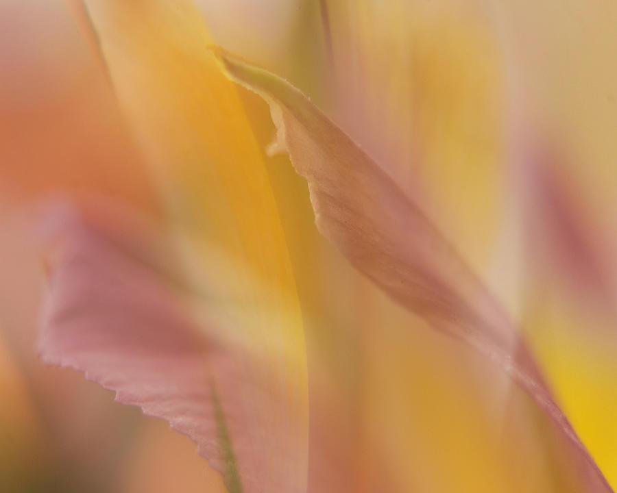Pink Alstromeria-2 Photograph