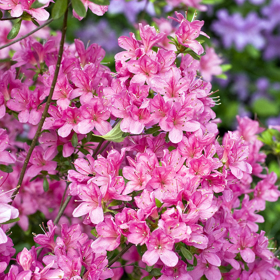 Rhododendron Photograph - Pink And Blue Rhododendron by Frank Tschakert