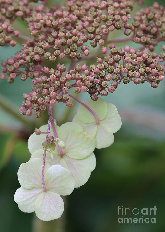Pink And Green Hydrangea Closeup Photograph