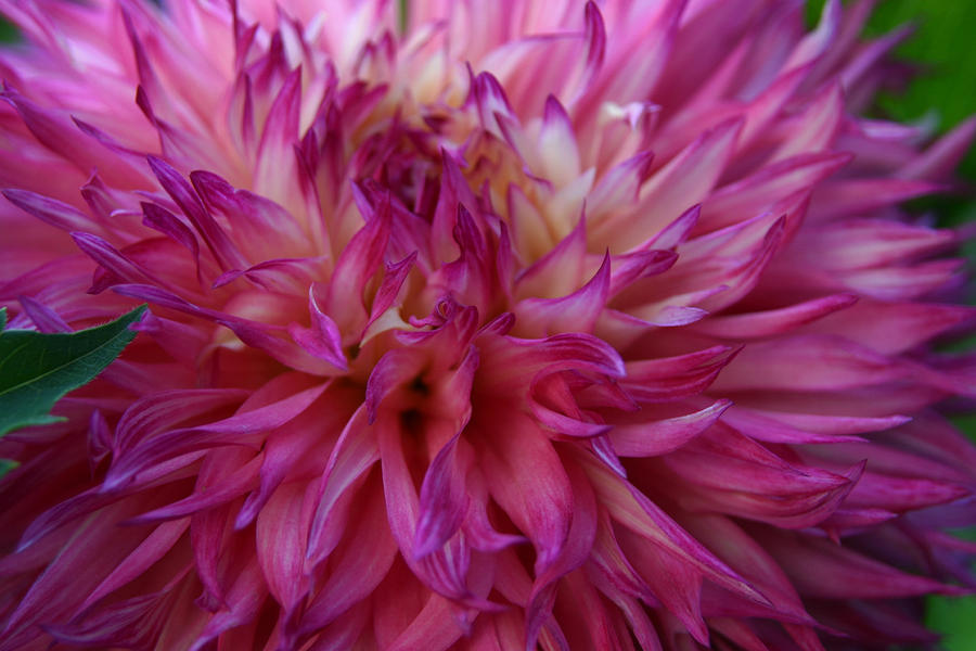 Pink And White Dahlia  Photograph