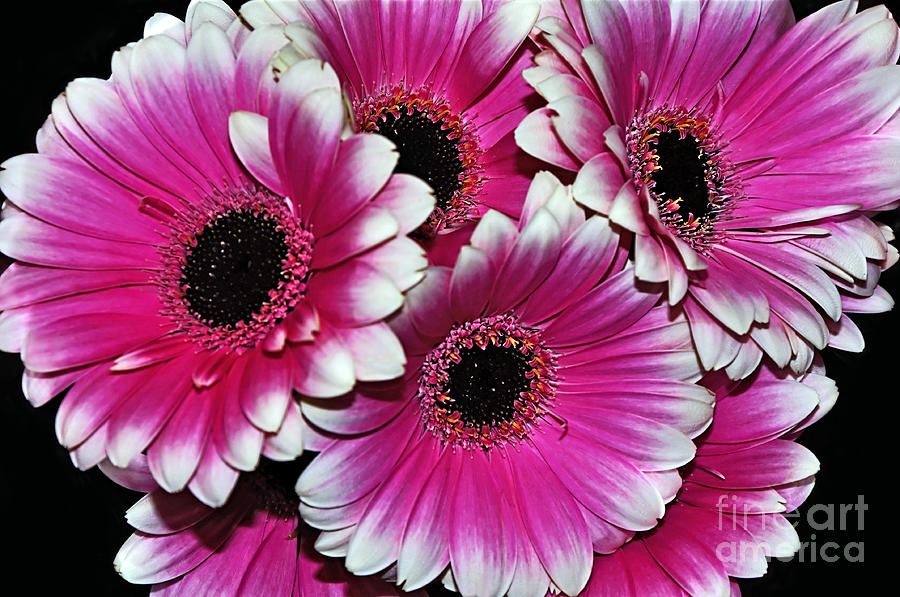 Photography Photograph - Pink And White Ornamental Gerberas by Kaye Menner