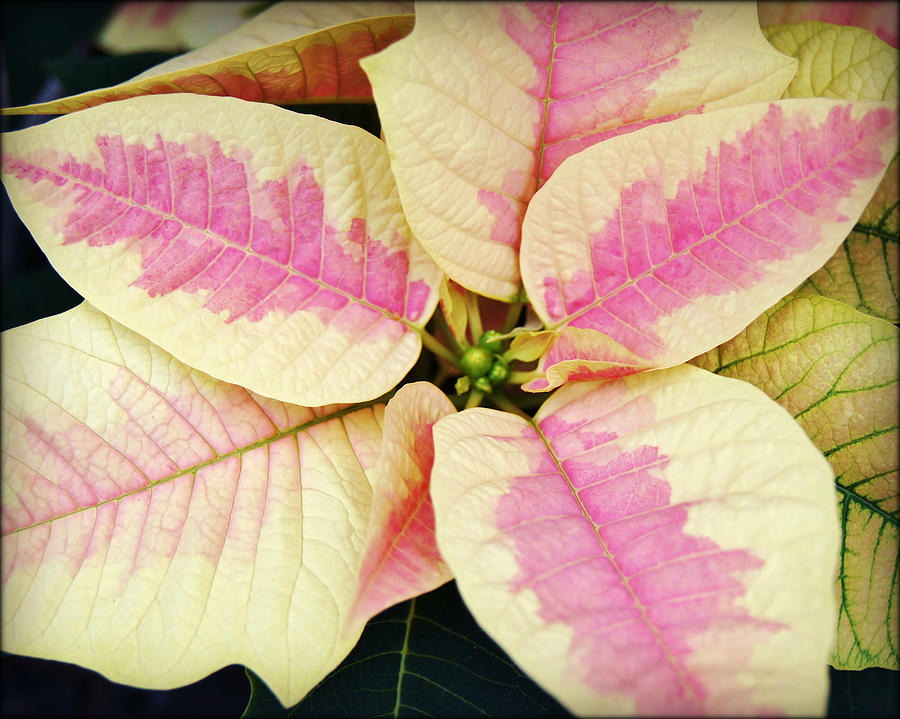 Pink And White Poinsettia by Carol Toepke