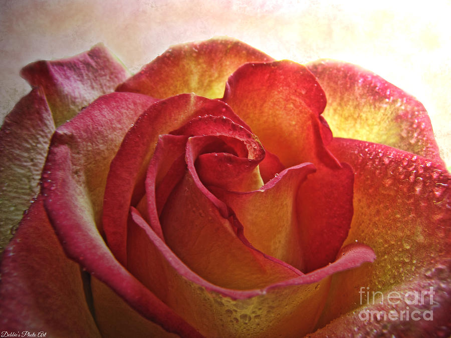 Yellow Rose With Water Drops: Pink And Yellow Rose With Water Drops Photograph By Debbie