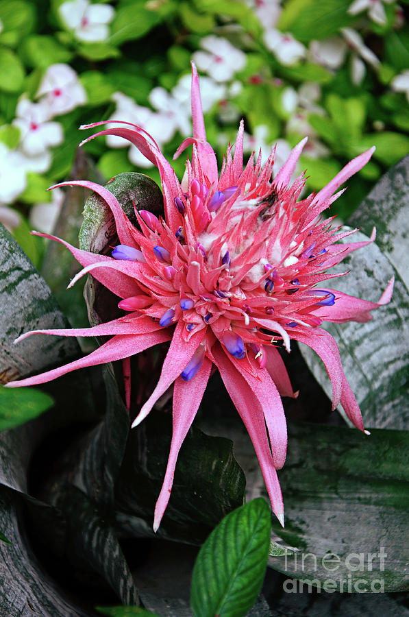Green Photograph - Pink Bromeliad by Andee Design