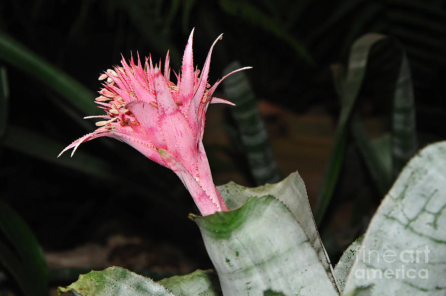 Pink Bromeliad Bloom Photograph  - Pink Bromeliad Bloom Fine Art Print