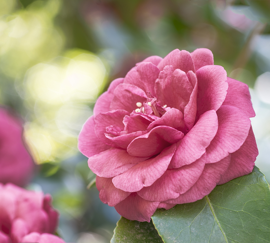 Pink Camellias Photograph  - Pink Camellias Fine Art Print