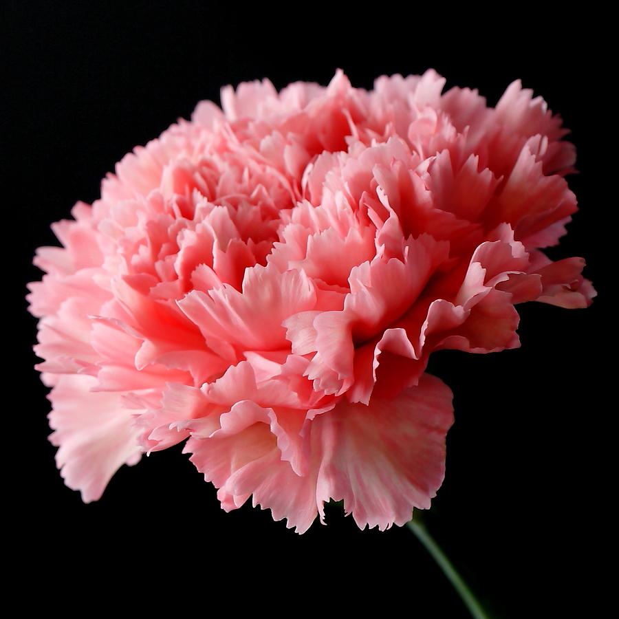 how to start carnations from cuttings