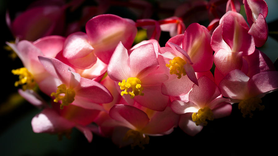 Begonia Photograph - Pink Cascade by David Patterson