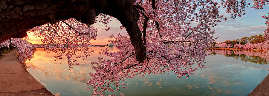 Pink Cherry Blossom Sunrise Photograph  - Pink Cherry Blossom Sunrise Fine Art Print