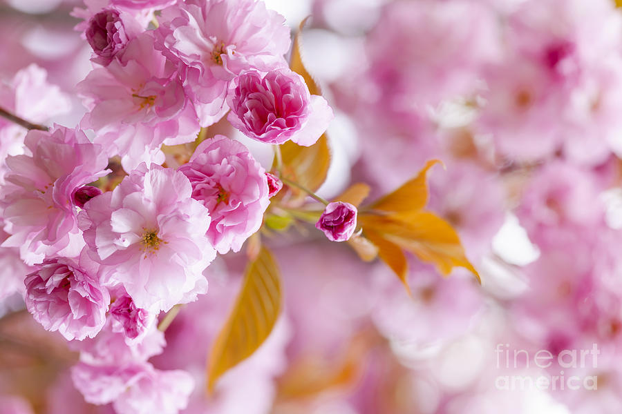 Pink Cherry Blossoms In Spring Orchard Photograph