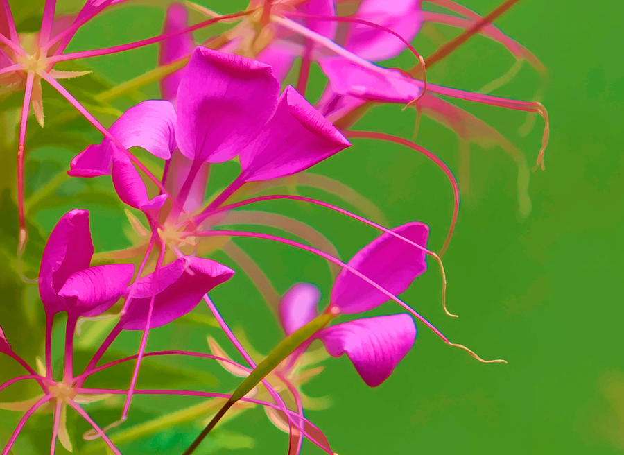 Pink Cleome Or Spider Flower Photograph