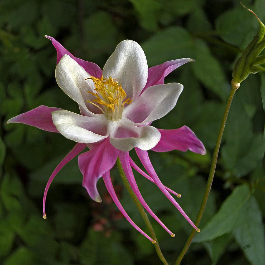 Pink Columbine Flower Photograph