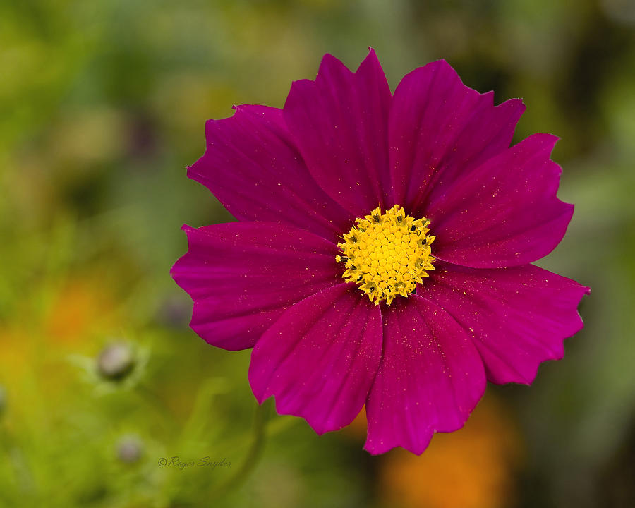 Pink Photograph - Pink Cosmos 3 by Roger Snyder