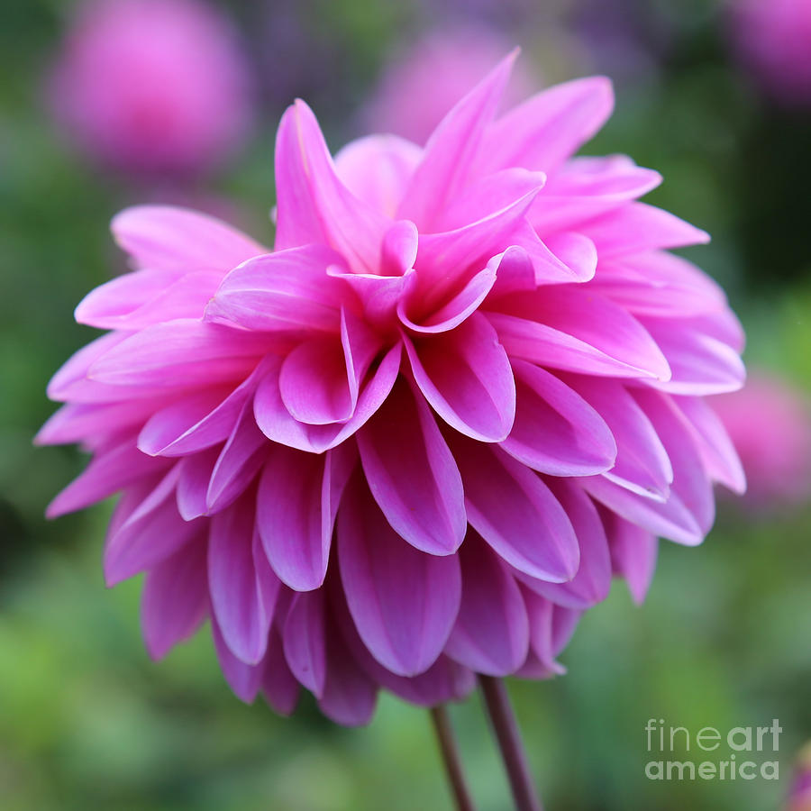 Pink Dahlia Closeup Photograph