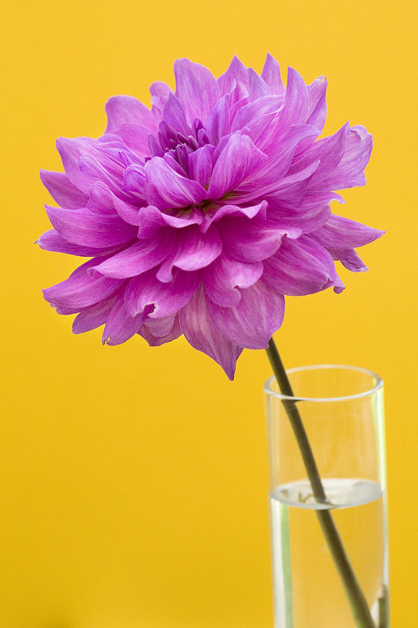 Flower Photograph - Pink Dahlia In A Vase Against Yellow Orange Background by Natalie Kinnear