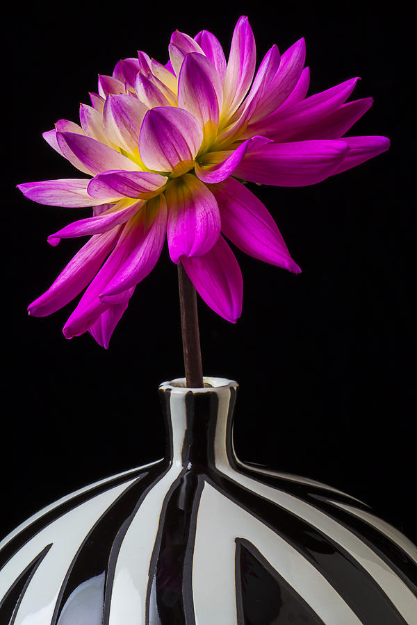 Pink Dahlia In Striped Vase Photograph