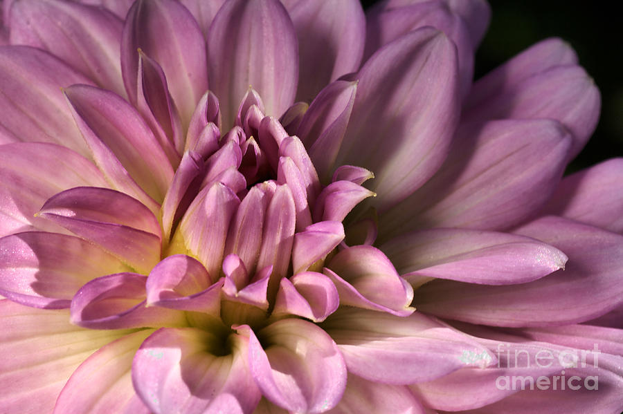 Pink Dahlias Dream Photograph