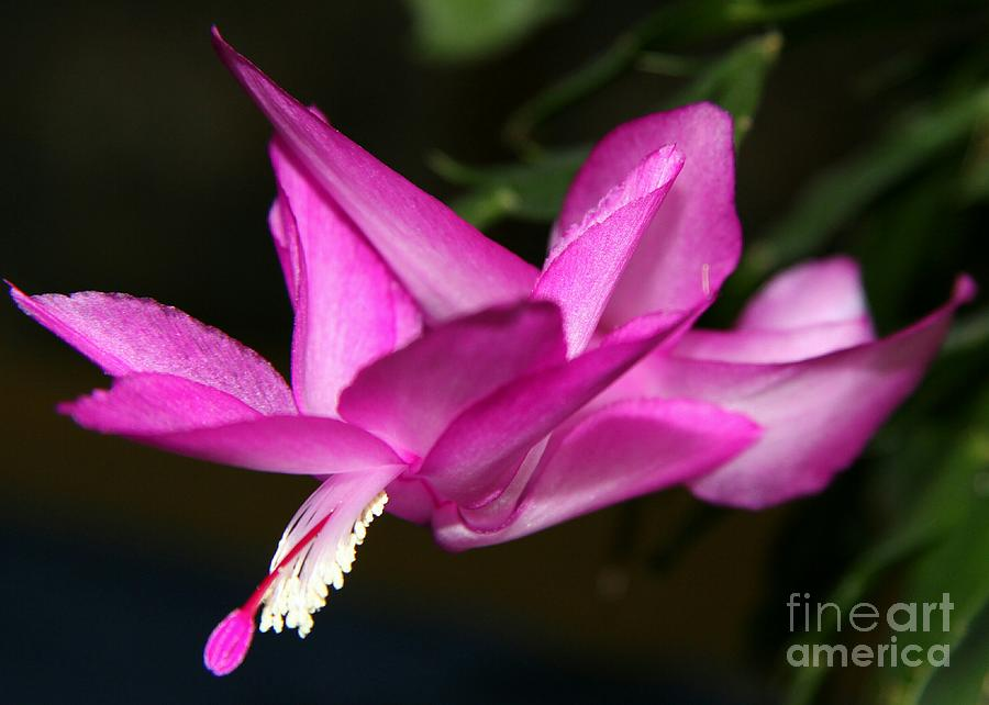 Pink Easter Cactus Photograph
