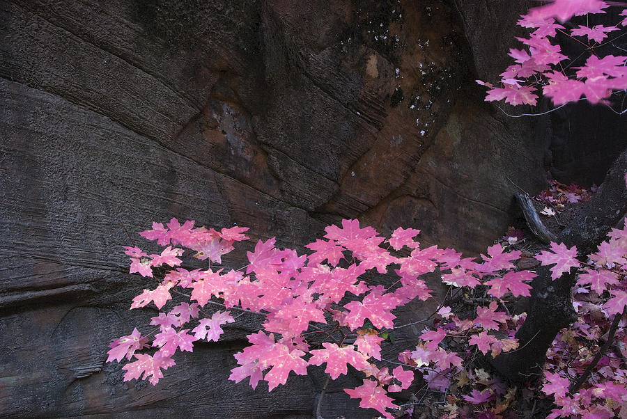 Pink Fall Colors In Sedona Arizona Photograph  - Pink Fall Colors In Sedona Arizona Fine Art Print