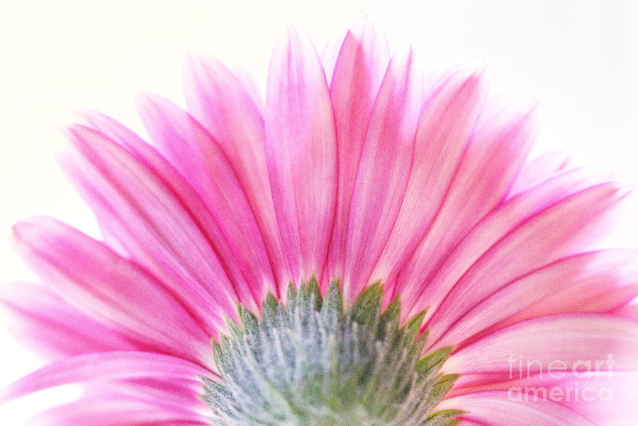 Pink Fan Photograph