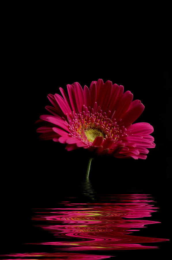 Pink Gerbera Flood 1 Photograph  - Pink Gerbera Flood 1 Fine Art Print