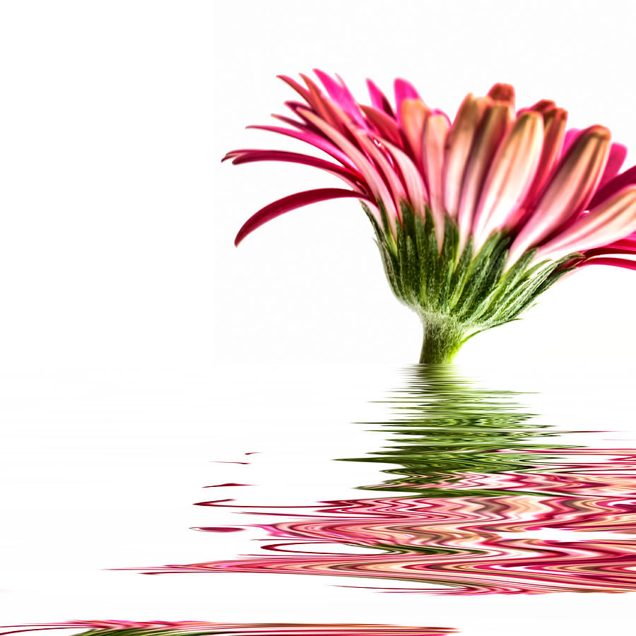 Pink Gerbera Flood 3 Photograph  - Pink Gerbera Flood 3 Fine Art Print