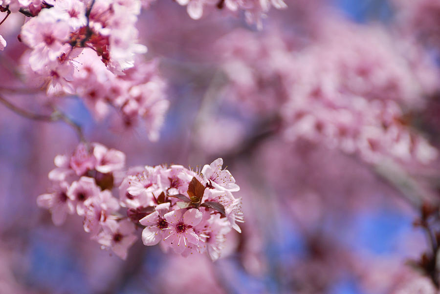 Cherry  Photograph - Pink by Guido Montanes Castillo