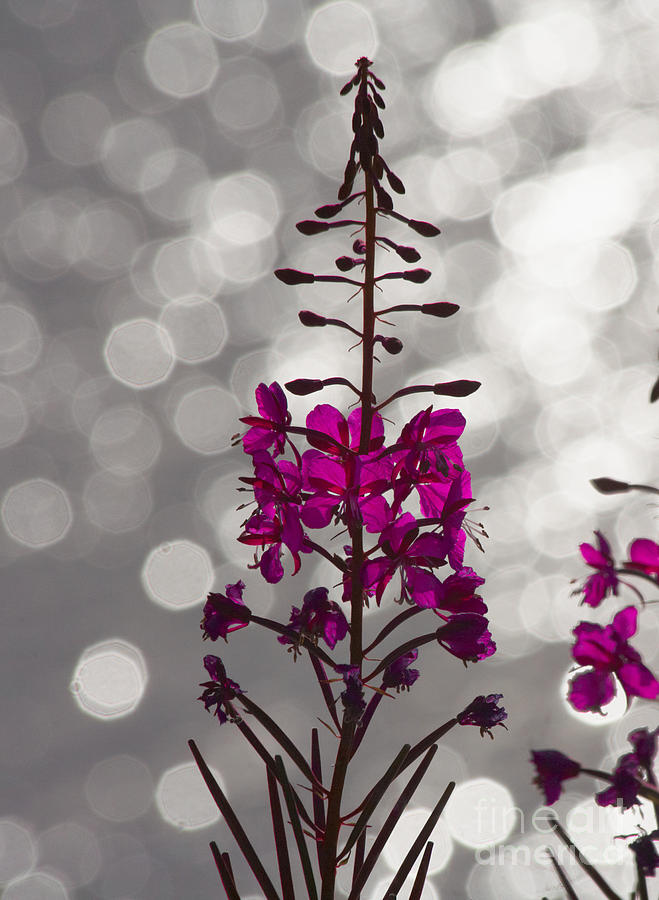 Fireweed Photograph - Pink  by Heiko Koehrer-Wagner