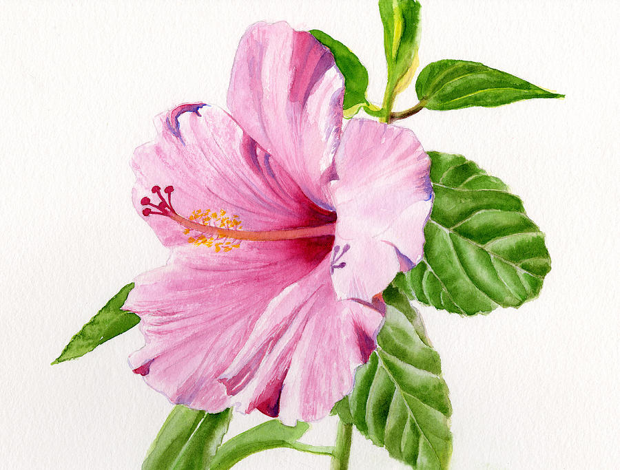 Pink Hibiscus With White Background Painting  - Pink Hibiscus With White Background Fine Art Print