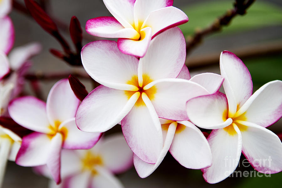 Pink Highlighted Plumeria Photograph