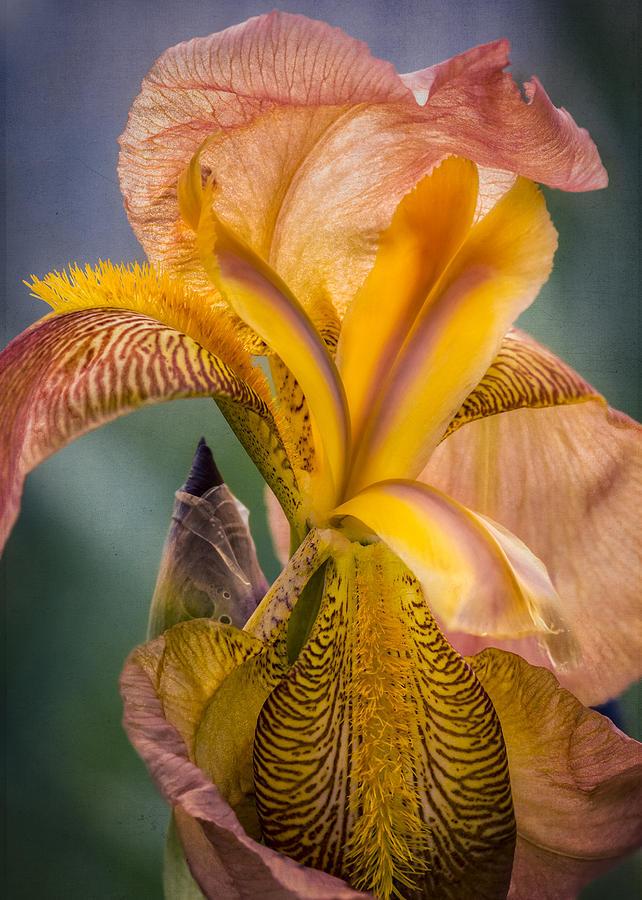 Pink Iris Photograph