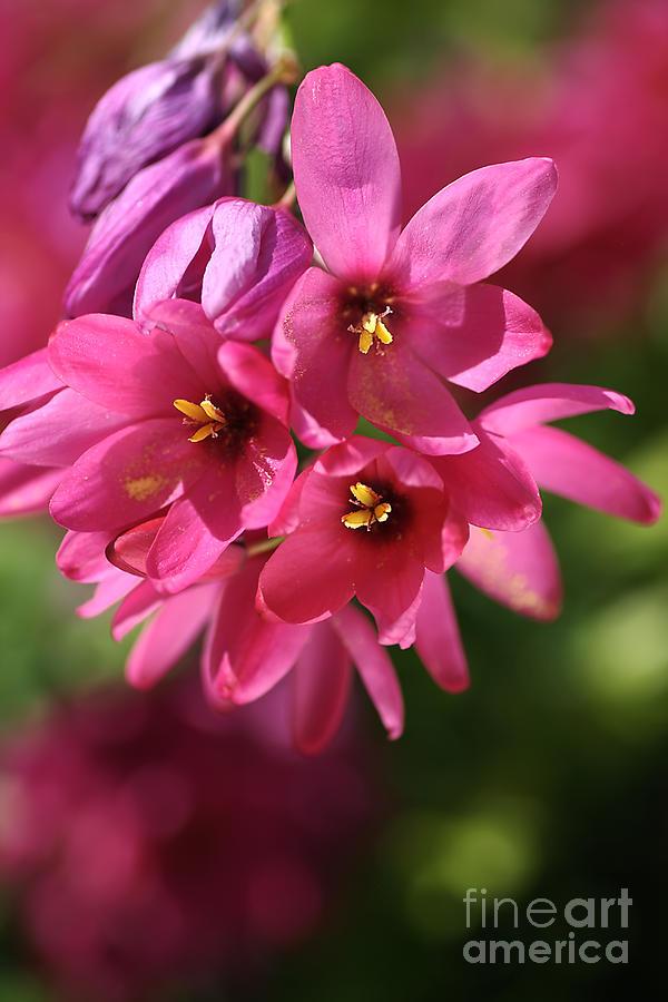 Ixia Photograph - Pink Ixia by Joy Watson