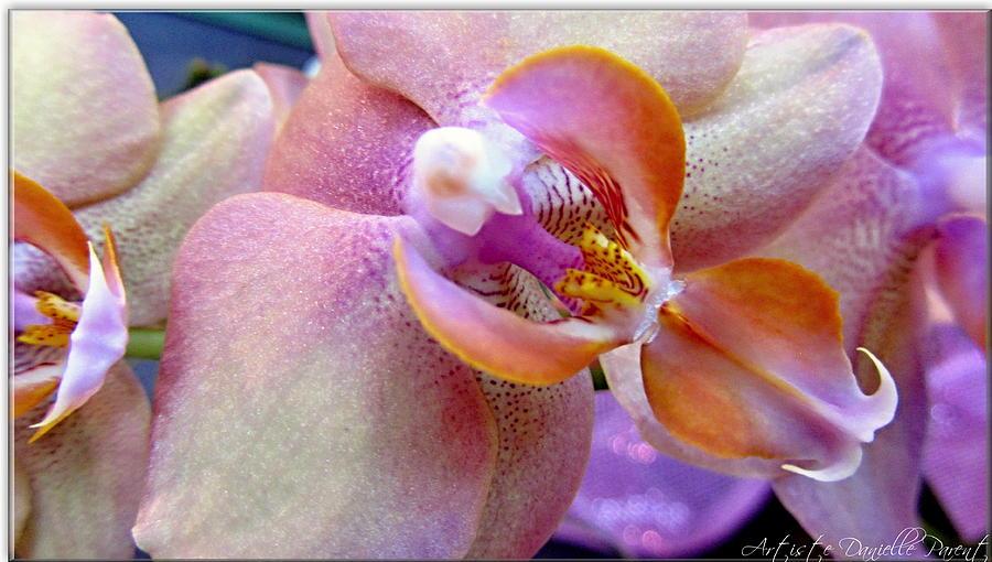Danielle Parent Photograph - Pink Limonaid Orchids Macro by Danielle  Parent