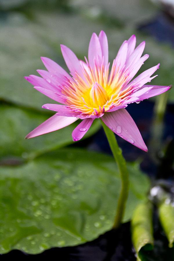 Pink Lotus Flower Photograph
