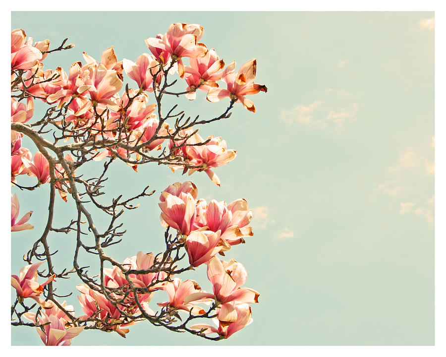 Pink Magnolia Flowers Against Blue Sky Photograph