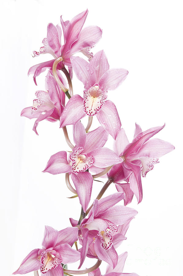 Pink Orchid Photograph  - Pink Orchid Fine Art Print