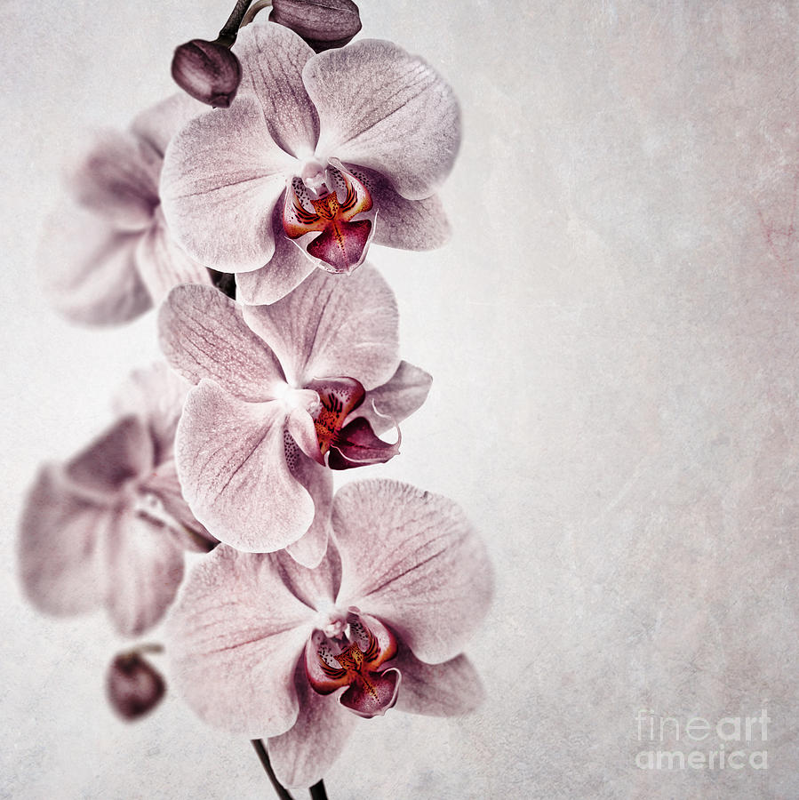 Pink Orchid Vintage Photograph