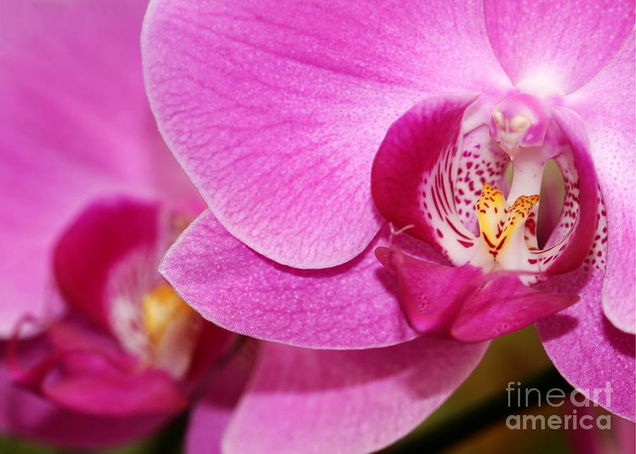 Pink Orchids Photograph