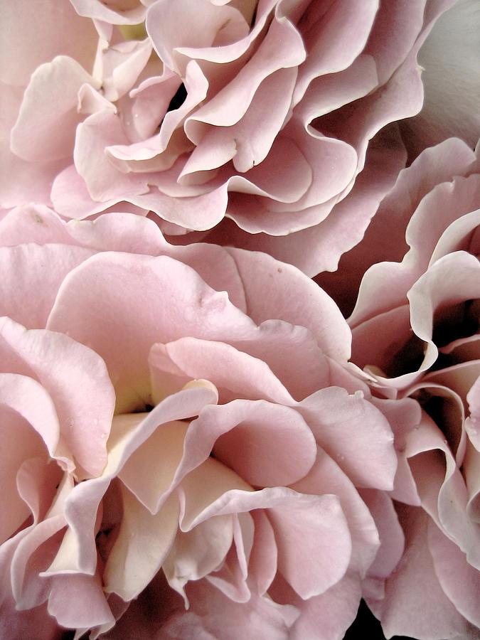 Pink Petal Profusion Photograph